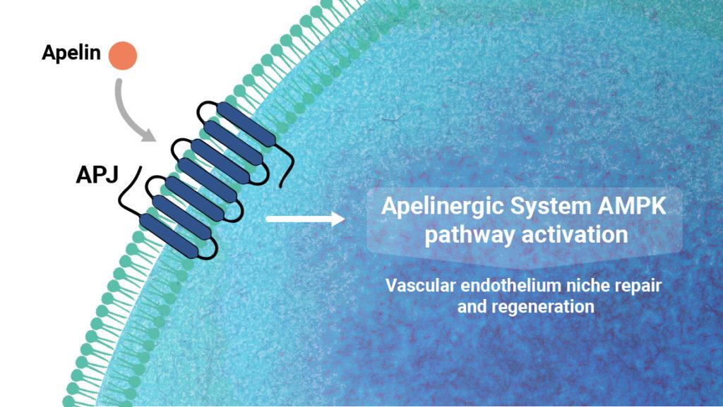 Stimulating the Apelin-APJ pathway activates an organ protective and regenerative response
